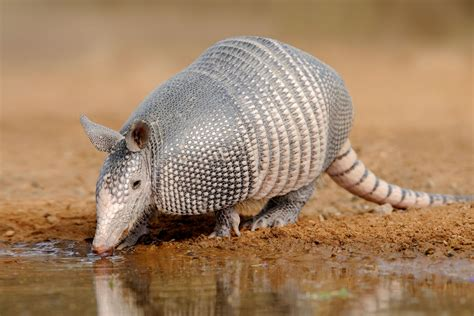 Meet the Xenarthrans - Armadillos, Sloths, and Anteaters