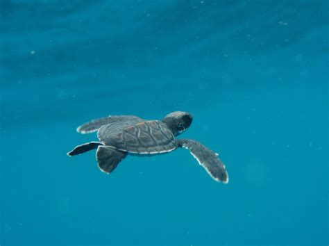 Developing technology to combat sea turtle poaching in