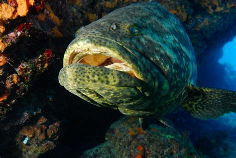 Watch: Grouper Slurps Down A Shark, Not A Typical Meal