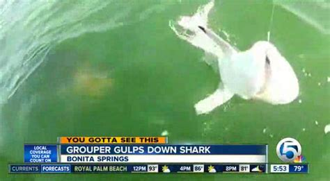 Fisherman catches video of grouper eating shark in one
