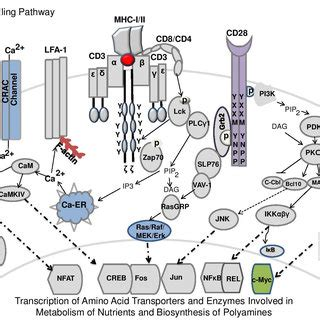 (PDF) Role of Polyamines in Immune Cell Functions