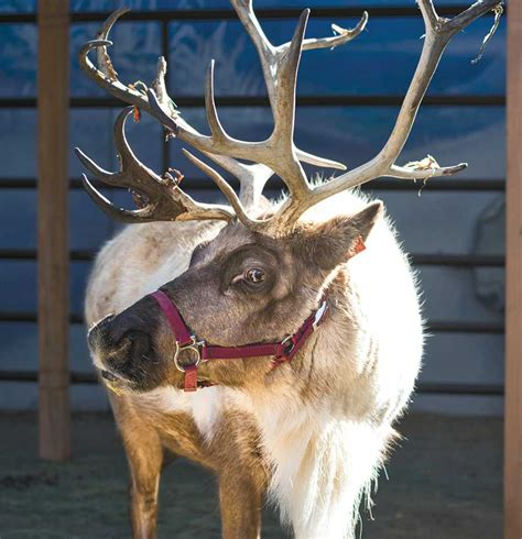 'Romp' with reindeer at the L