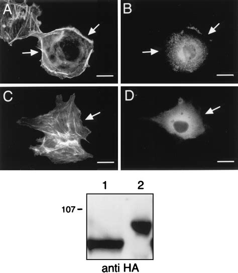 Cytoskeletal Reorganization by G Protein-Coupled Receptors