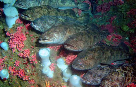 Lingcod Photo Gallery, Alaska Department of Fish and Game