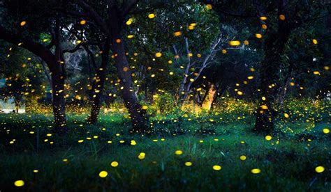 Where have all the fireflies gone? - The Week