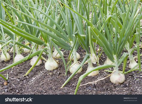 Row Large Onions Growing Soil Stock Photo 83622640