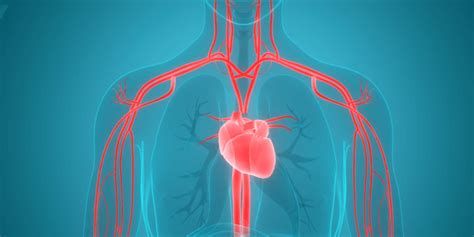 Heart Health 101: What Is the Function of a Circulatory